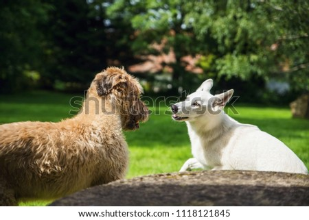 Stock Photo Two young dogs (briard with cut hair and white swiss shepherd) in game and dialogue.