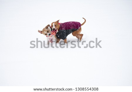 Two Young Dogs Playing in Fresh Snow Wearing Jackets #1308554308