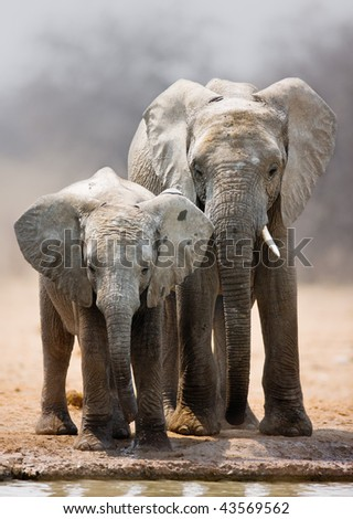 Two young elephants standing at a waterhole; Loxodonta Africana; Etosha