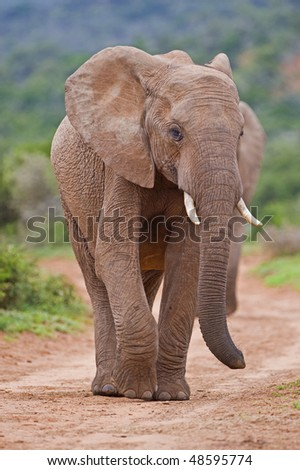 Two young elephants walk towards the photographer