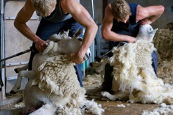 Two young farmers holding and shearing sheep for wool in a barn.