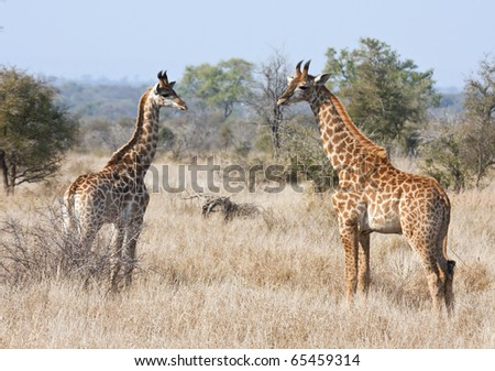 Two young giraffes in the bush exploring