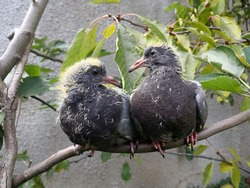 Two young grey pigeon chicks sitting on branch and looking at each other. Lovely funny friends baby doves with yellow down. Intelligent funny birds with bright smart eyes. Friendship between animals