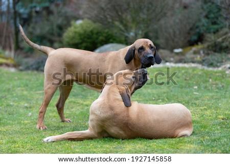 two young guardian dogs, female of Fila Brasileiro, Brazilian Mastiff, playing outdoor on green grass Stock fotó ©