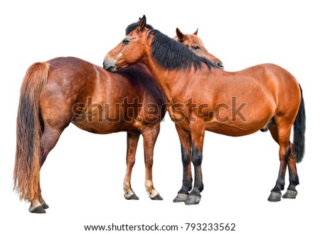 Two young horses isolated on white background. Couple of two brown horses full length close up. Farm animals.