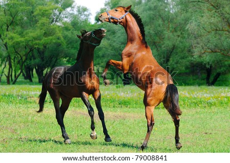Two young  horses playing in the field