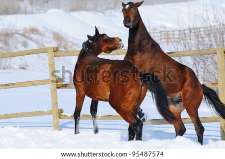 Two young horses playing on the snow field