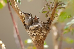 Two young Humming Birds in their nest.