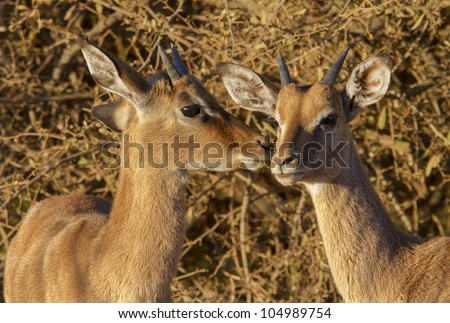 Two young impala ram juveniles in nice morning light