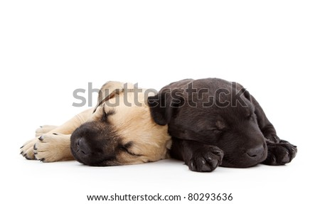 Two young lab shepherd mix puppies sleeping together.  Isolated on white.