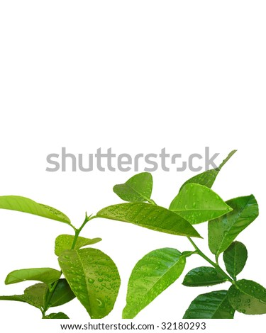 two young lemon trees with water drops with a free white space to place your information