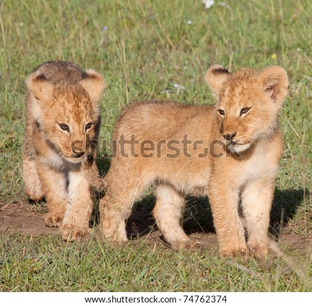 """Two young lion cubs. Part of the """"Marsh Pride"""" in Kenya's Masai Mara national park"""