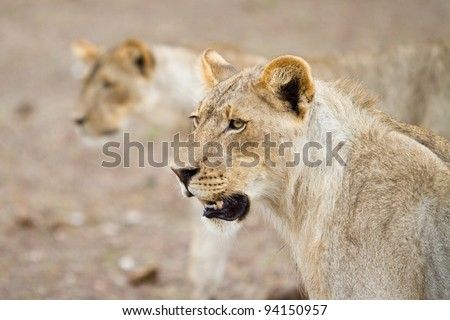 Two young lions on the hunt