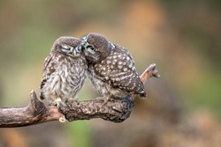 Two young little owls (Athene noctua) sitting in pairs on a stick.