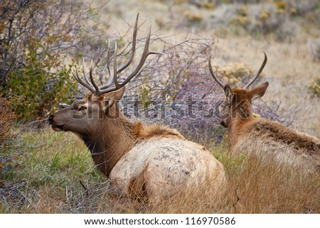 Two young male elk hang outside the herd of a larger more dominant male hoping to siphon off does. Estes Park, Colorado