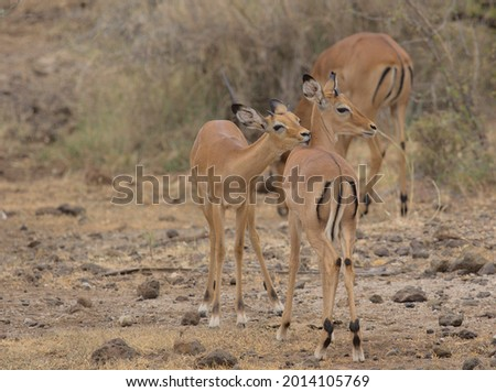 two young male impalas building societal bonds through tender grooming and cleaning each other's backs in the wild, Kenya Foto d'archivio ©