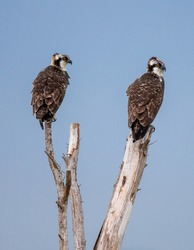 Two young ospreys waiting for parents to feed them.