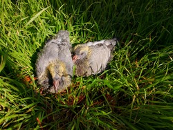 Two young pigeon chicks with grey feathers and still yellow down sitting in the grass side by side. Image of friendship and confidence