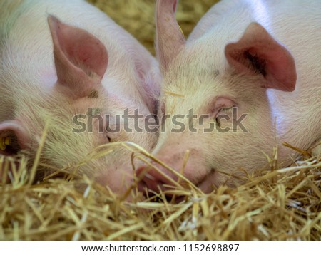 Two young pigs are asleep in the straw snout against snout in love