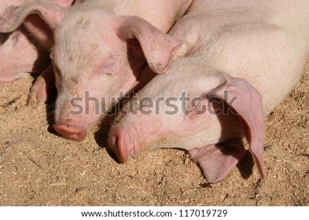 Two young pink Pigs lying down on a grassy field in an outdoor animal market in Otavalo, Ecuador