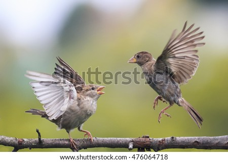 two young playful birds fighting evil on a branch in the Park