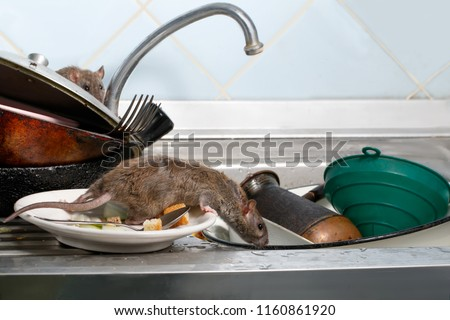 Two young rats (Rattus norvegicus)  on the sink with dirty crockery at the kitchen. Fight with rodents in the apartment. Extermination.