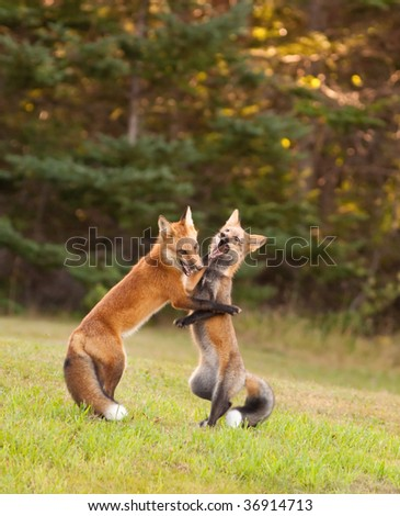 Two young red foxes wrestling at the edge of the forest