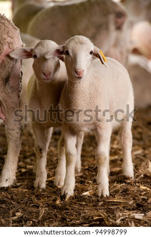 Two young sheep standing side by side in the barn