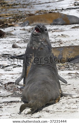 Two young southern elephant seal bulls (Mirounga leonina) fighting at the beach on Seal Lion Island, Falkland Islands