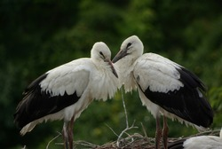two young storks in the nest against the background of green trees, summer