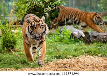 Two Young Sumatran Tigers Running and Playing Panthera Tigris Sumatrae