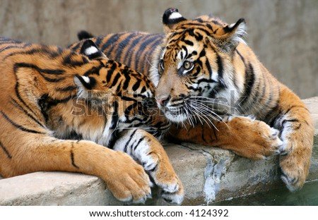 Two young tigers sitting next to one another, affectionate