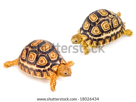 two young tortoises - Geochelone Pardalis - meeting each other