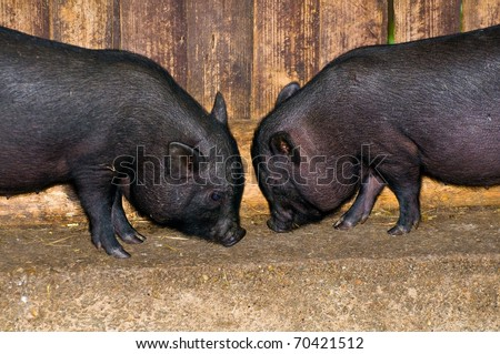 Two young vietnamese potbelly pigs