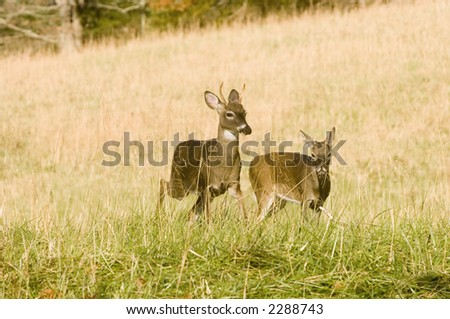 Two young whitetail bucks run through a meadow in Smoky Mountain National Park