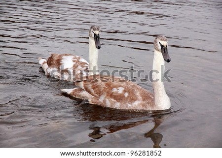 Two young wild swans are coming to eat in a cold winter