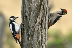 Two young woodpecker climbing on the wood