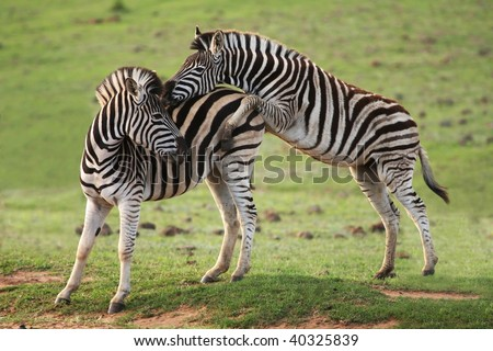 Two young zebra with one trying to mount the other