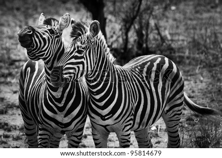Two zebra animal in close up in the wild