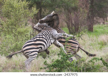 Two zebras fighting for dominance in the herd