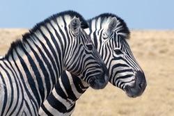 Two zebras head in Etosha national park Namibia safari close up