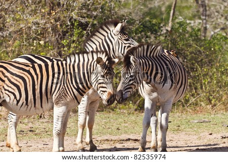 Two Zebras showing affection by rubbing noses