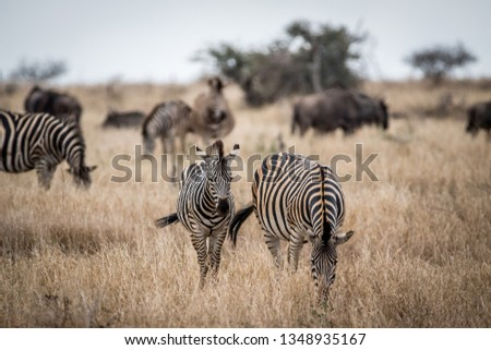 Two Zebras standing in the high grass in the Kruger National Park, South Africa. #1348935167