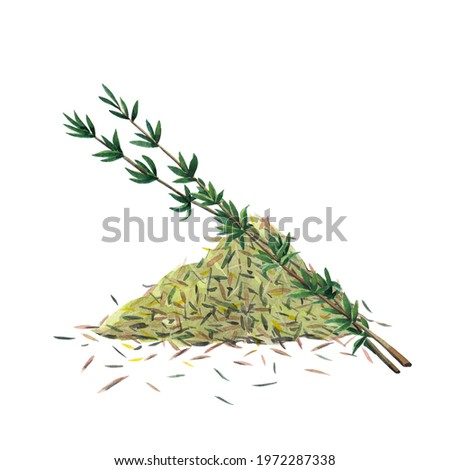 Twoo green branches and dry spice of thyme. Thyme set  isolated on white background.  Watercolor hand drawn illustration. Zdjęcia stock ©