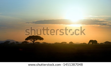 Typical african landscape at the foot of a volcano Kilimanjaro, Amboseli national park, Kenya. Silhouettes of acacia trees and a african elephant against orange sunset. Wildlife photography in Kenya.