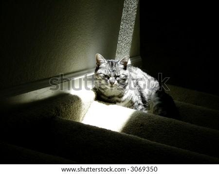 Typical American Short hair cat sitting in sun beam