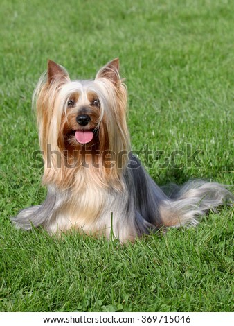 Typical Australian Silky Terrier  in the spring garden #369715046