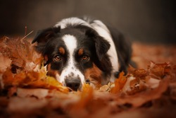 Typical autumn photography with sad australian shepherd female lying in the leaves. Dog in leaves. Autumn dog photography.