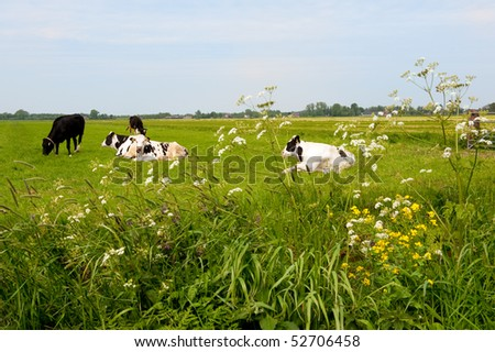 Typical Dutch black and white cows in grass landscape - stock photo