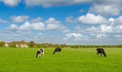 Typical Dutch Holsteins Friesian cows in green grassland, Holland